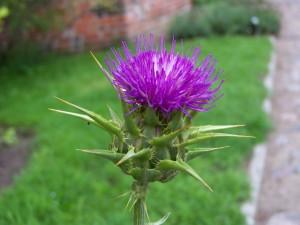 Frombork_-_Milk_thistle_flowerhead